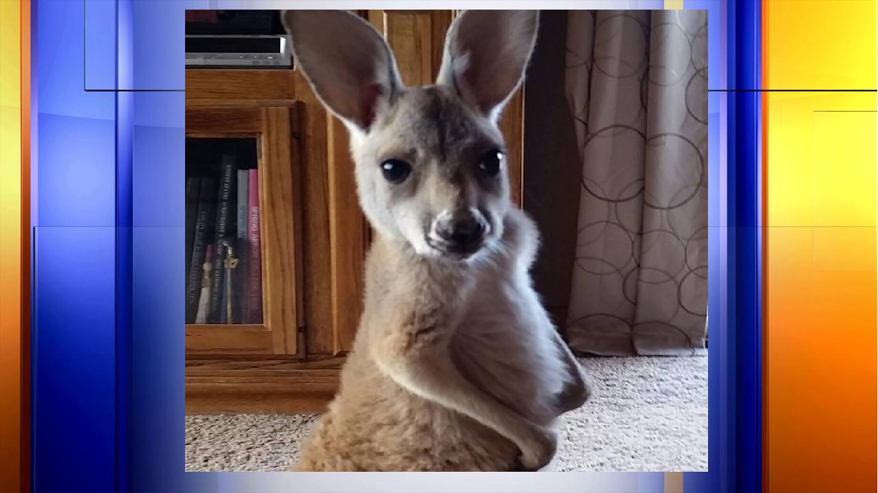 kangaroo web_1496266371119.png